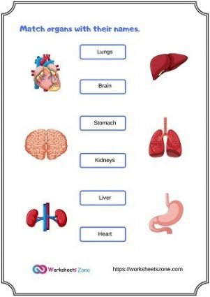 Organs of the Human Body Worksheets